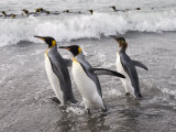 King Penguins  St Andrews Bay  South Georgia  South Atlantic