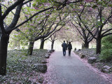 Spring Cherry Blossom  Brooklyn Botanical Garden  Brooklyn