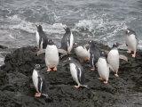 Gentoo Penguins  Hannah Point  Livingstone Island  South Shetland Islands  Polar Regions