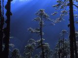 Pine Trees Glisten in the Early Morning Sunlight in the Remote Hingku Valley  Near Mount Everest