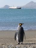 King Penguin  Moltke Harbour  Royal Bay  South Georgia  South Atlantic