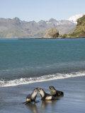 Fur Seals  Moltke Harbour  Royal Bay  South Georgia  South Atlantic