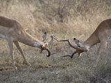 Two Male Impala Sparring  Kruger National Park  South Africa  Africa