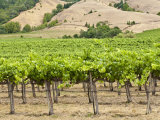 Vineyard in Northern California  United States of America  North America