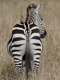 Red-Billed Oxpecker on a Grants Zebra