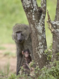 Olive Baboon Mother and Infant  Serengeti National Park  Tanzania