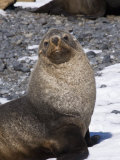 Fur Seals at Brown Bluff  Antarctic Peninsula  Antarctica  Polar Regions