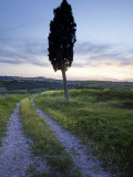 Lone Cypress Tree at Sunset  Near Pienza  Tuscany  Italy  Europe