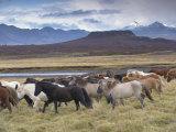 Icelandic Horses Near Snorrastadir  Eldborg Volcano