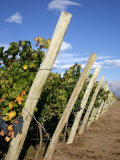 Vineyards and the Andes Mountains in Lujan De Cuyo  Mendoza  Argentina  South America