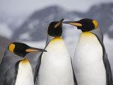 King Penguins  St Andrews Bay  South Georgia  South Atlantic