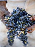 Harvest Worker Holding Malbec Wine Grapes  Mendoza  Argentina  South America