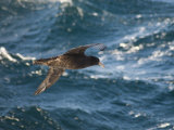 Giant Petrel Near Falkland Islands  South America