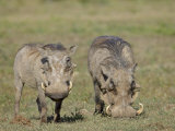 Two Warthog  Addo Elephant National Park  South Africa  Africa