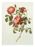 Rosa Gallica Pumila  from Les Roses  1817-24