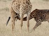 Baby Masai Giraffe Nursing  Masai Mara National Reserve