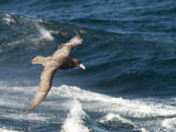 Giant Petrel  Near Falkland Islands  South Atlantic  South America