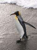 King Penguin  St Andrews Bay  South Georgia  South Atlantic