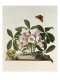 Helleborus Niger or Christmas Rose  Watercolour  18th century