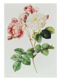 Rosa Damascena Celsiana or Damask Rose  Engraving from Les Roses  1817-24