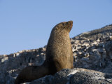 Fur Seal  Gourdin Island  Antarctic Peninsula  Antarctica  Polar Regions