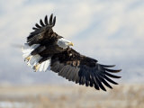 Bald Eagle on Approach  Farmington Bay  Utah
