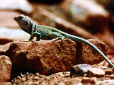 Close-Up of Greenish-Colored Lizard  Sedona  Arizona  USA