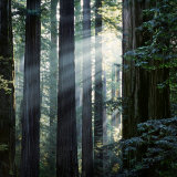 Sunbeams Coming Through Trees in a Redwood Forest Papier Photo par Diane Miller