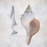 Still Life of Two Shells