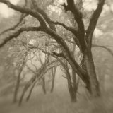 Sepia Toneds Image of Trees in the Wood