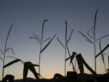 Corn Silhouetted by a Late Sunset