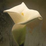 Calla Lily (Zantedeschia Aethiopica)  Spring  Oregon  North America