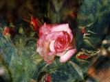 Pink Rose with Abstract Background