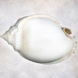 Still Life of a Shell