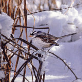 White Crown Sparrow