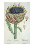 Artichoke  from 'Herbarium Blackwellianum'  1757