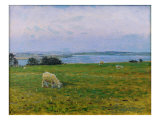 Sheep Grazing  Osterby  Skagen