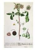 Potato Plant and Fruit  Plate from 'Herbarium Blackwellianum'  Published 1757 in Nuremberg  Germany