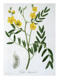 Cassia from 'Phytographie Medicale' by Joseph Roques