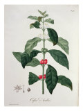 Coffea Arabica from 'Phytographie Medicale' by Joseph Roques