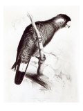 Calyptorhynchus Baudinii  or Baudin&#39;s Cockatoo  1832