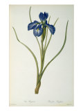 Iris Xyphioides  from `Les Liliacees&#39;  1808