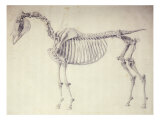 Fifth Anatomical Table  from 'The Anatomy of the Horse'