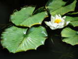 White Water Lily Flower and Lily Pads Floating on Water  Romo Island  Denmark  Green  Leaf