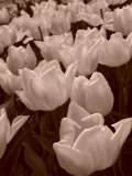 Field of Tulips in Holland  Keukenhof  Holland  Sepia