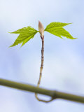 Sugar Maple Leaf Bud Opening