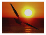 Bird Gliding into Setting Sun