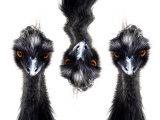 Three Emus Papier Photo par Abdul Kadir Audah