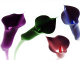 4 Lilies in Neon Colors with White Background