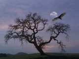 Oak Tree Silhouetted Against Cloudy Sunrise with Partially Obscured Moon and Flying Vulture Papier Photo par Diane Miller
